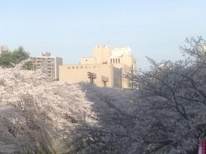区民センター周辺の桜