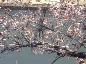 桜開花32015.3.23