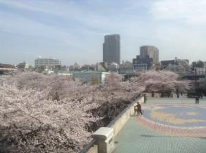 ふれあい橋の桜
