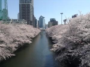 桜満開3.31②