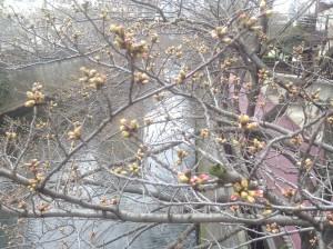 ①桜つぼみ3.20