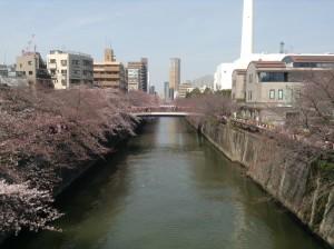 目黒桜2016.3.31③