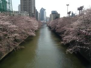 目黒桜2016.3.31②